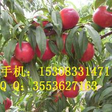 早实高产油桃苗基地长期供应游仙苗木基地