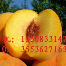 川北黄桃苗种植基地黄桃苗批发供应黄桃的的市场需求黄桃加工