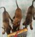 标准马犬多少钱马犬价格马犬图片