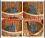 成都出售纯种血统猫咪