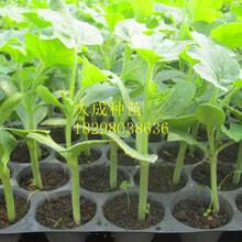 种植西瓜嫁接苗土地的准备大田直播技术