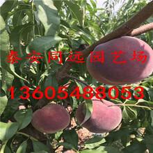 桃树苗什么品种好哪里有卖桃树苗的图片