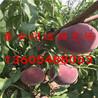 桃树苗什么品种好哪里有卖桃树苗的