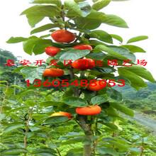 甜柿树多少钱一颗?一棵甜柿树产几斤甜柿?图片