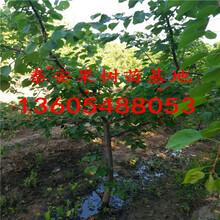 优质杏树苗,优质杏树苗价格图片
