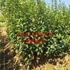新品种甜柿树苗新品种甜柿树苗出售价格