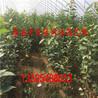 樱桃树苗批发基地、矮化樱桃树批发厂家