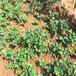 畢節太空2008草莓苗首選