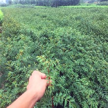 绿油香椿苗基地欢迎你、绿油香椿苗产量高吗图片