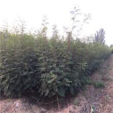 花椒芽苗常见问题、花椒芽苗市场走向图片