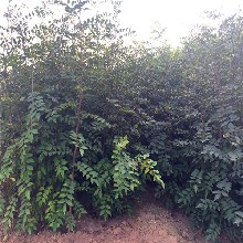 黄罗伞香椿苗生产商、黄罗伞香椿苗基地欢迎你图片