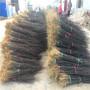 藤椒树苗参数、藤椒树苗哪里比较好图片