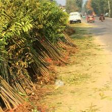 山椒树苗种植办法、山椒树苗管理要点图片