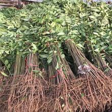 花椒种子特点、花椒种子注意事项图片