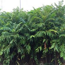 绿油香椿苗供求信息、绿油香椿苗基地欢迎你图片
