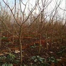大红袍石榴树苗、大红袍石榴树苗什么品种好图片