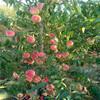 帅师香桃树苗当年即可挂果检验品种