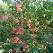 貴妃血桃樹苗交易市場圖片