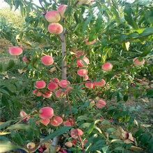 朱砂红桃树苗种植和养护图片