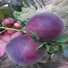 血桃樹苗常見問題圖片