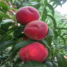 兴农红桃树苗适应海拔图片