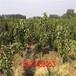 大樱桃种苗管理方法、山东樱桃苗生产基地