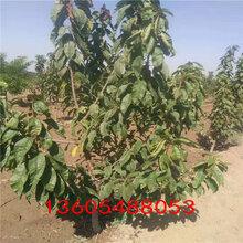芝罘紅櫻桃苗日常管理、瑪瑙紅櫻桃苗出售基地圖片