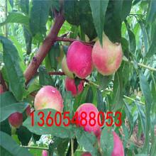 有非凡的营养价值中华寿桃树苗、中华寿桃树苗生产商图片