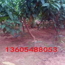 表现极佳的黄金蜜号桃树苗、黄金蜜号桃树苗哪里有销售图片