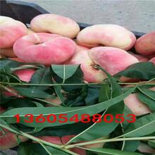 酸甜适中的黄金蜜1号桃树苗、黄金蜜1号桃树苗市场价格图片
