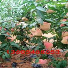 风味浓甜映霜红桃树苗、映霜红桃树苗自产自销图片