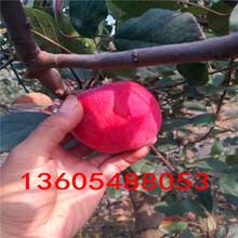 请问晚熟油蟠桃树苗、晚熟油蟠桃树苗销售信息图片