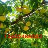 成枝力强中油4号桃树苗、中油4号桃树苗功效与作用