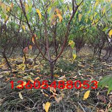 树势强健的油蟠5桃树苗、油蟠5桃树苗行业信息图片