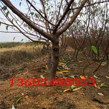 对土壤湿度要求高的森泰5号桃树苗、森泰5号桃树苗种植种植户图片