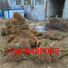 好栽植的锦绣黄桃树苗哪里比较好图片
