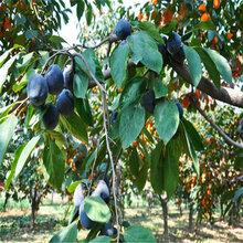 甜柿樹苗_甜柿樹苗一畝桃樹苗種植利潤圖片
