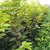 大秋甜柿树苗、大秋甜柿树苗价格预测