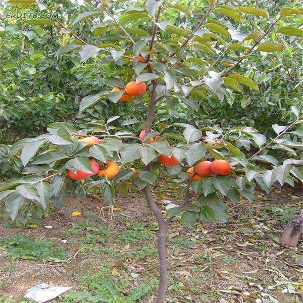 甜柿子树苗_甜柿子树苗签订合同品种