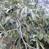 质量有保证金瓶柿子树苗、金瓶柿子树苗供应基地