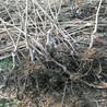 热量小的车串柿子树苗出售