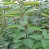 甘秋甜柿树苗种植咨询处、甘秋甜柿树苗怎样卖