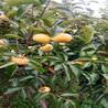 好看的甜宝盖柿子树苗卖得特别好