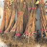 热量小的罗田柿子苗、罗田柿子苗适合栽植环境