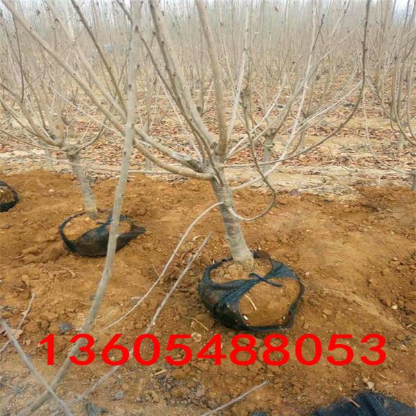 脱毒樱桃苗怎样卖、脱毒樱桃苗一亩樱桃苗种植利润