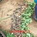 烏克蘭櫻桃苗、烏克蘭櫻桃苗當年即可掛果檢驗品種
