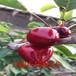 早大果櫻桃苗、早大果櫻桃苗低價出售