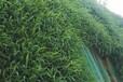 貴陽多年生護坡復綠草籽每平方造價