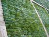 遵义复绿多年生草种灌木种子长期绿化