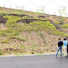 廣東高速上下邊坡綠化施工/工程草種子批發